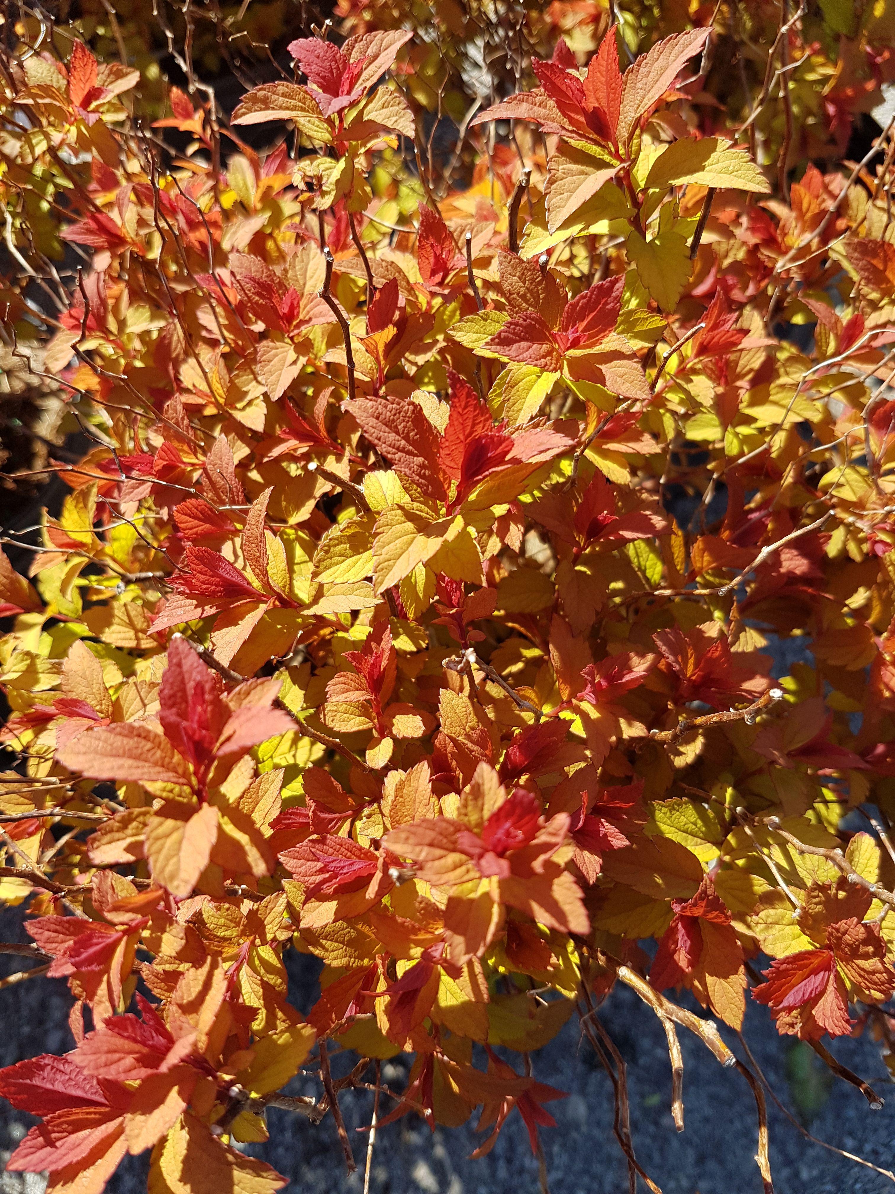 Magic Carpet Spirea | Exciting Spring Plants | Pinterest | Herbs ...