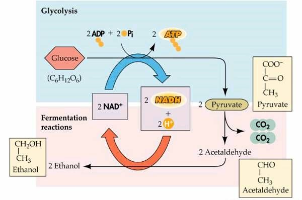 energy production in yeast cells The yeast species involved in alcohol production transport sugar into their cells where it can be used to extract energy through two processes depending on the presence, or absence, of oxygen.