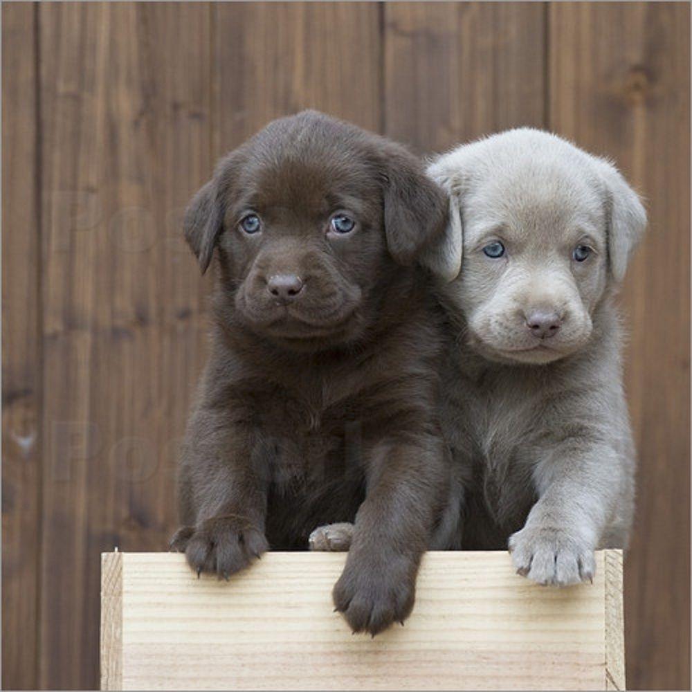 Hunderassen Hund Labrador Hundewelpen Welpen Labrador Welpen Kleine Hunderassen Dalmatiner Deutscher Schaferhund Ber Babytiere Labradorwelpen Labrador