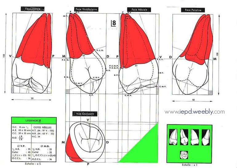 Morphologie - I.P.E.D (Institut El hak de Prothèse Dentaire)