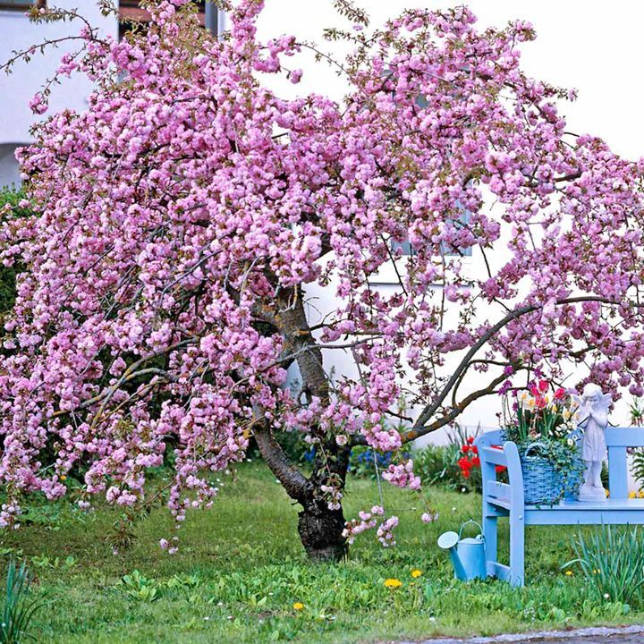 Cheal S Weeping Cherry Tree At Suttons Seeds Flowering Cherry Tree Spring Flowering Trees Flowering Trees
