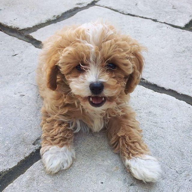Mabel The Cavapoochon Cavapoochon Cute Dogs Puppies