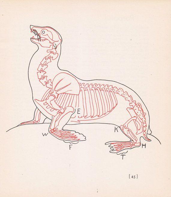 Vintage Sea Lion Anatomy Print Skeleton Illustration Book Plate ...