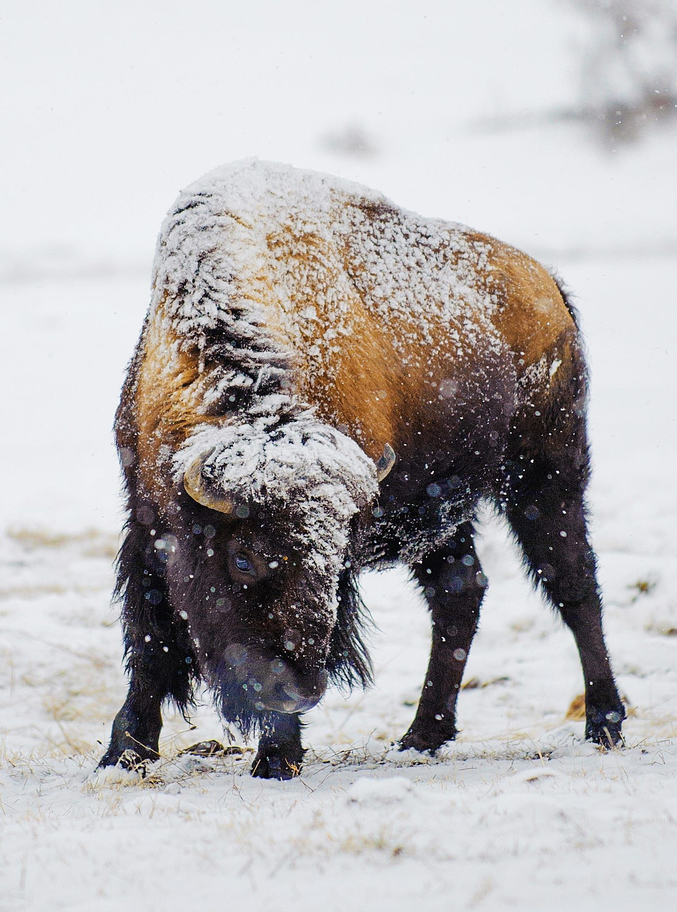 Bison in Yellowstone National Park in winter last year. | buffalo ...