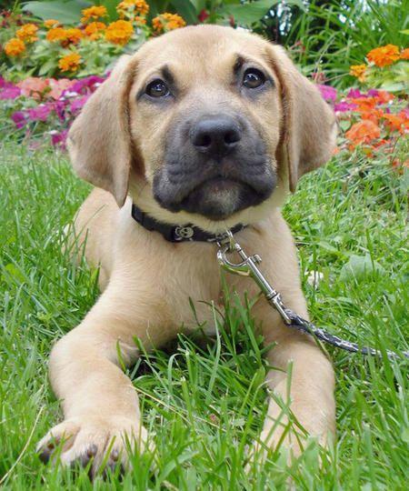 Bella The Boxer Mix Puppy Breed Boxer Saint Bernard Boxer