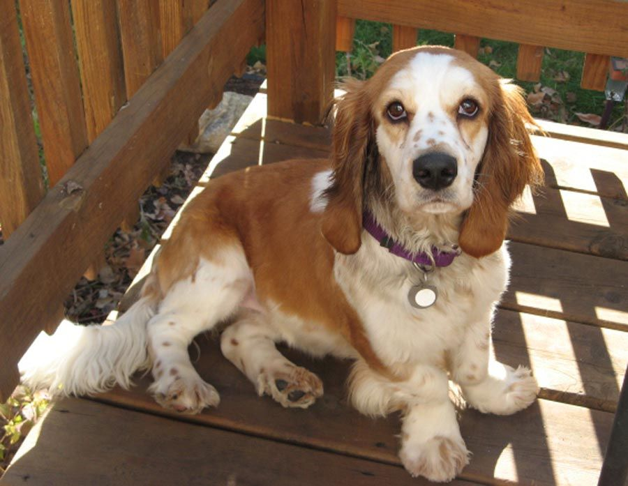 10 Heart Melting Basset Hound Mix Breeds To Aww Over Basset