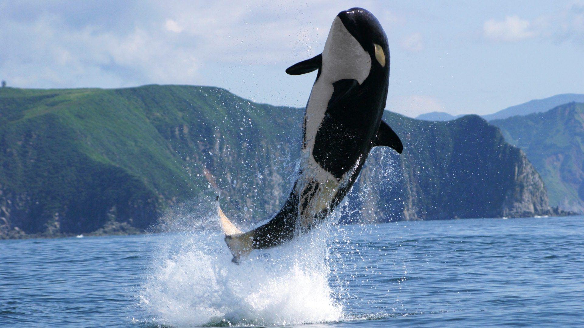 Killer whale 4g 19201080 pinterest killer whale 4g 19201080 thecheapjerseys Images