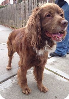 Flushing Ny Boykin Spaniel Cocker Spaniel Mix Meet Eddie A Dog
