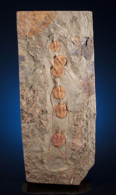 "UNUSUAL TRILOBITE ""CONGA LINE"" FROM THE SAHARA DESERT OF MOROCCO Ampyx priscus Ordovician Beni Zolli, Draa Valley, Morocco"
