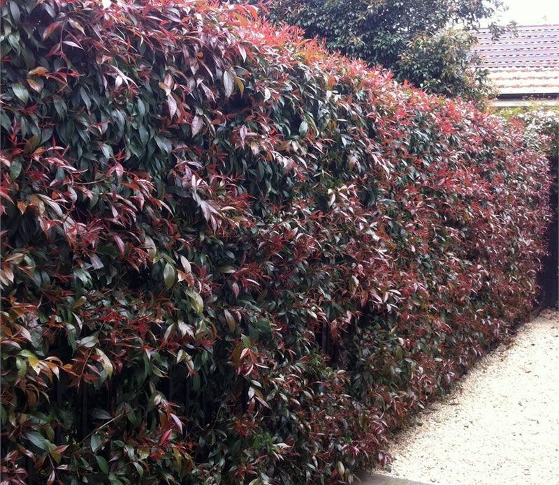 Syzygium Bush Xmas Hedges Landscaping Small Front Gardens Arborvitae Landscaping