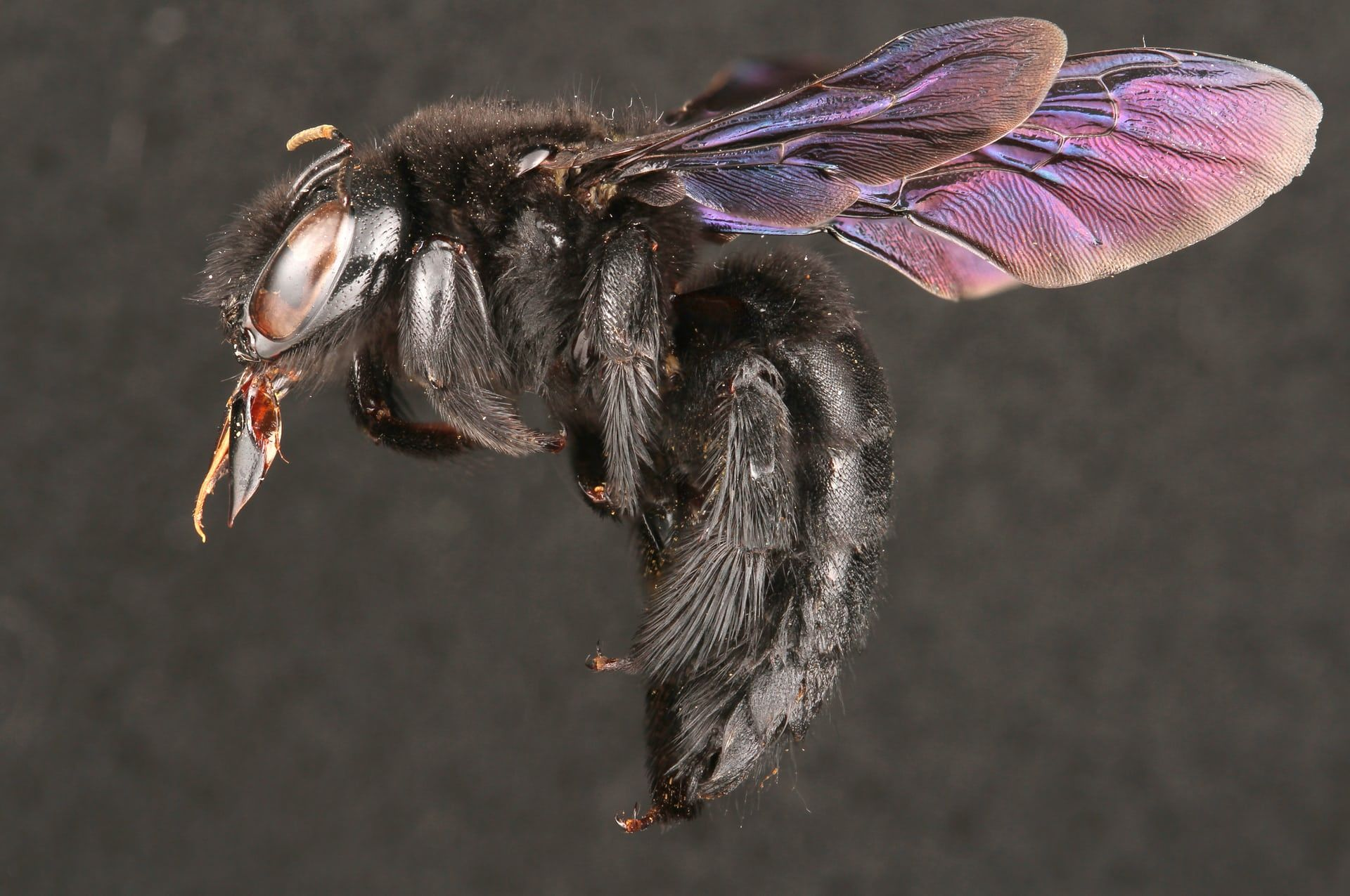 Large Female Carpenter Bee Bee Macro Lens Bee Images