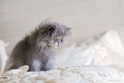 I Want This Kitty Persian Cat White Persian Cat Cat With Blue