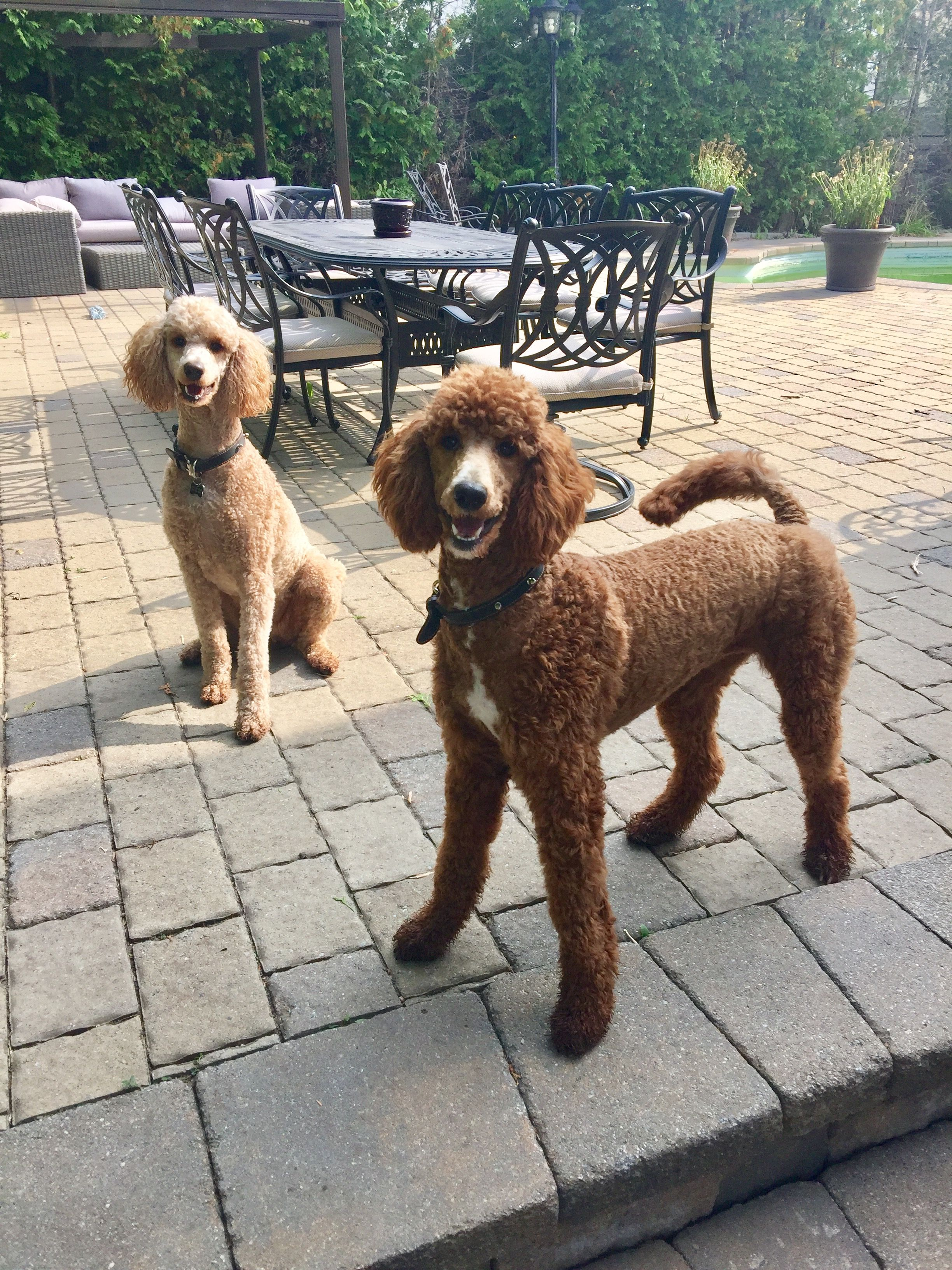 Standard Poodle Bella 2 Years Old Apricot And Storm 9 Month Old