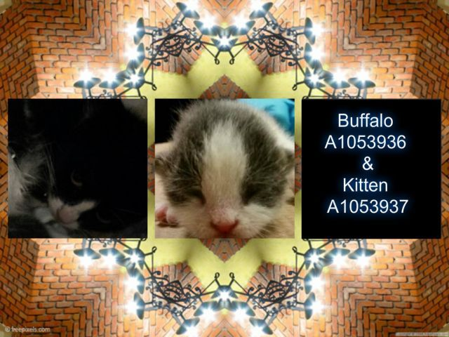 "SAFE :) BUFFALO - A1053936 & HUNTER aka KITTEN - A1053937 - - Brooklyn ***TO BE DESTROYED 10/22/15*** Another attempt from the ACC to ""try"" and help this mom and baby by putting out a SPECIAL PLEA for them. Mom is BUFFALO, a 2 year old female who IS PUBLICLY available to ADOPT…of course she needs EXPERIENCE because of her fearfulness. Baby is HUNTER, a 3 week old male who MUST HAVE a NEW HOPE RESCUE pull but he also needs a FOSTER… He's just too youn"