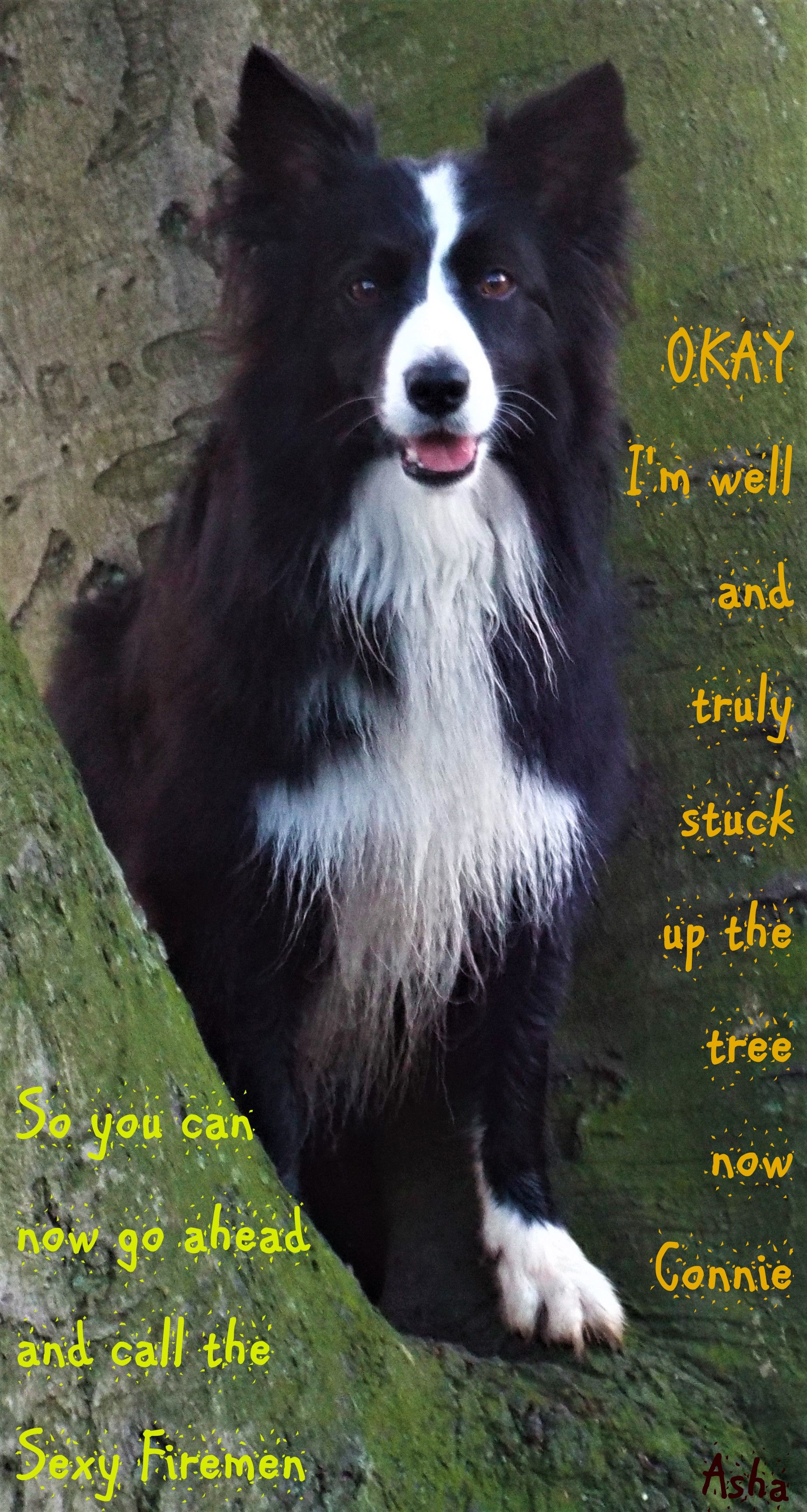 A Border Collie Is An Obedient Dog Thank You Asha Dog Training