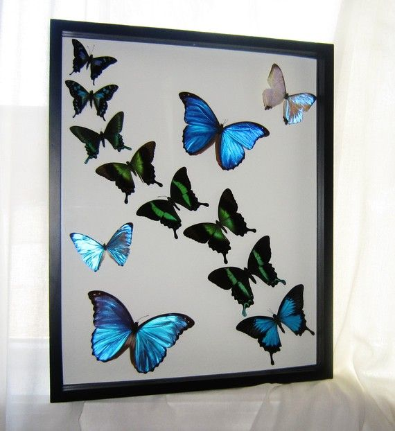 Real Blue Morpho Butterfly and Swallowtail Butterfly Display, Framed ...