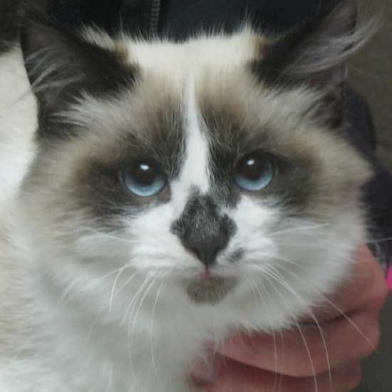 Adopt A Pet Cat Adoption Siberian Cats For Sale Cat Years