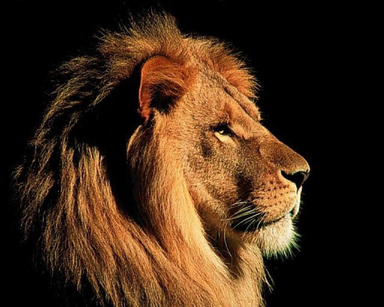 Lion face Google Search Löwe hintergrundbild