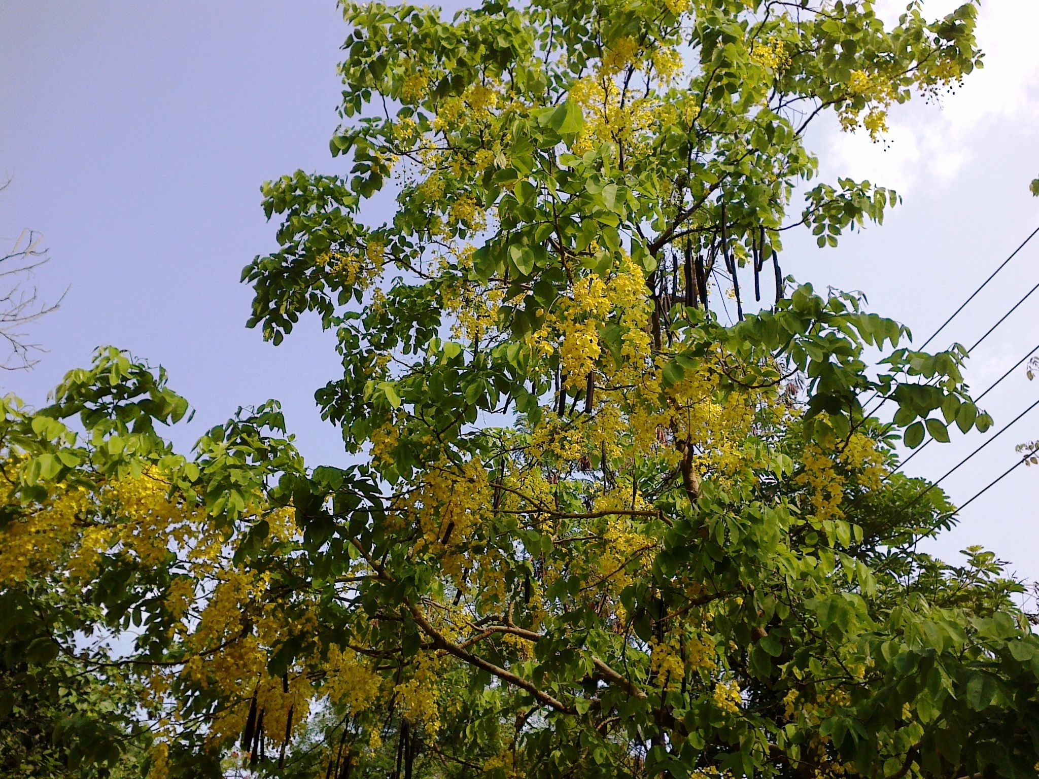 Indian Laburnum In Full Bloom With The Dark Seed Pods Hanging In Abundance Seed Pods Seeds Plants