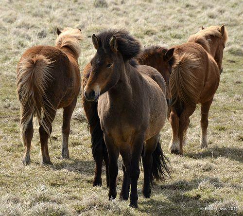 Icelandic horses - http://www.1pic4u.com/blog/2014/09/03/icelandic-horses/