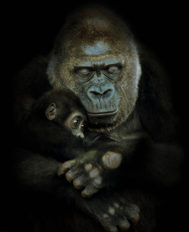 Gorilla parenting skills are among the most developed in the animal kingdom. Mothers can expect to invest years caring for their vulnerable offspring. Although male gorillas do not take an active role in caring for infants, they play an important role in their socialization.