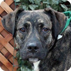 Walnut Creek Ca Labrador Retriever Boxer Mix Meet Bootes A Dog