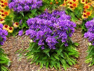 Dzwonek Skupiony Bellefleur Dlugo Kwitnie 40 6823406799 Oficjalne Archiwum Allegro Plants Vegetables Rose