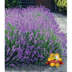 Photo of Lavendelpflanzen