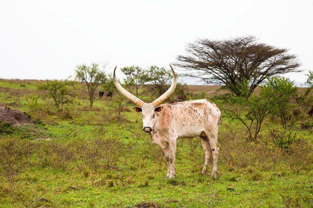Amazon.com: White Ankole-Watusi cattle. Mbarara, Ankole, Uganda. by ...