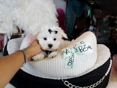 Teacup Maltese Puppies For Sale Florida With Images Teacup