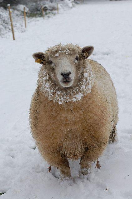 Winter sheep