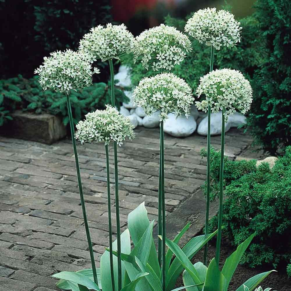 10 Bulb Garden Design Ideas: Large White Ball Like Flowers On 70-90 Cm Stem. Fl. May