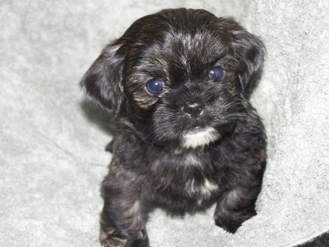 Shih Poo Puppies Adorable Shih Poo Puppies For Sale For Sale In Belleville Ontario Shih Poo Puppies Puppies Puppies For Sale