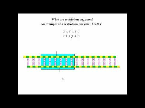 Restriction Enzymes Pt 1 Enzymes Dna Physiology