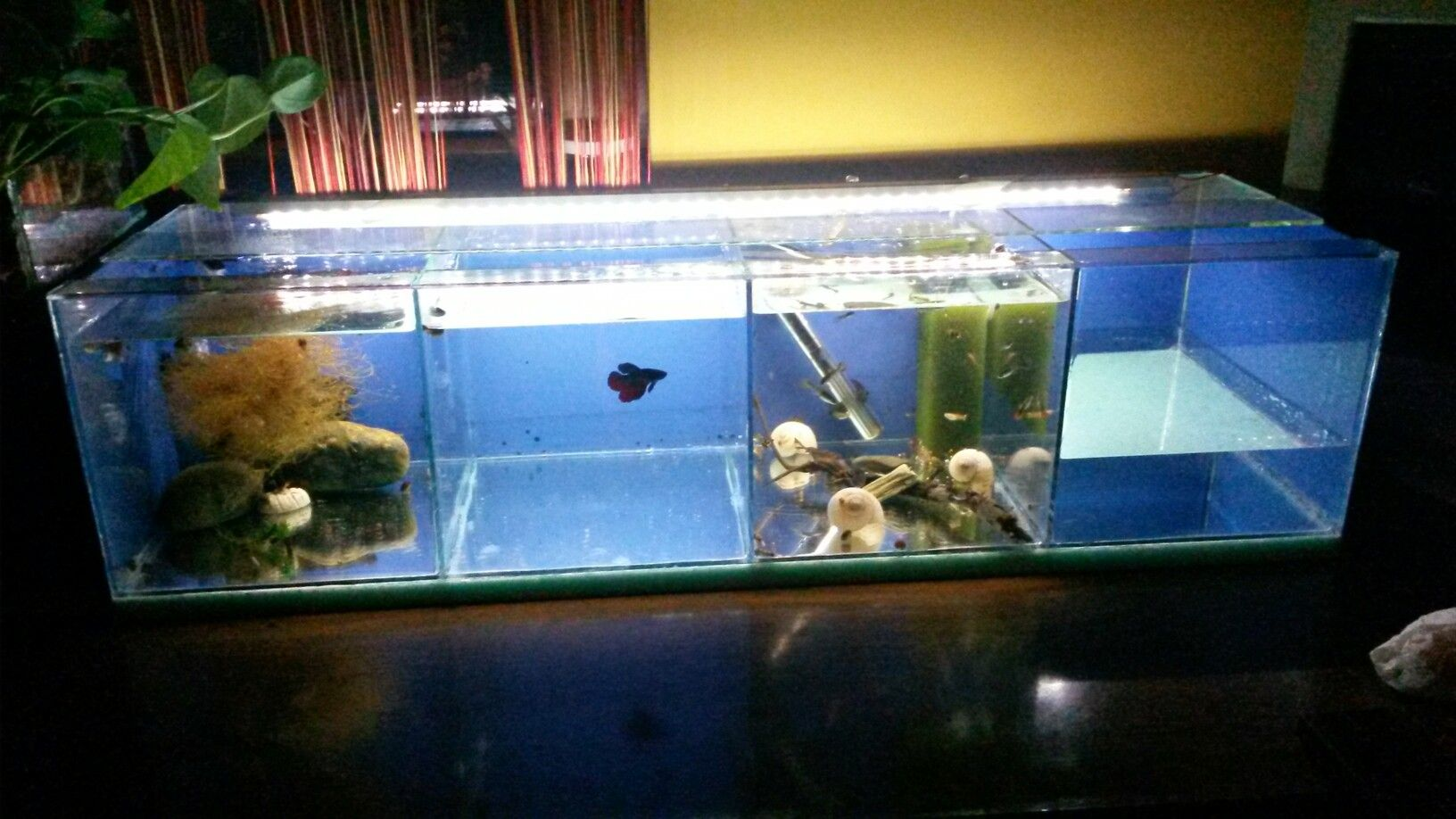Stocked 4in1tank Tank For Guppies And Betta Fish 2 Sections For Guppies 1 Section For Betta 1 Section For Pregnant Guppies Rgb Led Str Betta Fish Betta Guppy