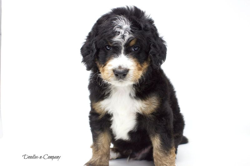 Doodles N Company Bernedoodle Puppies In 2020 Bernedoodle Bernedoodle Puppy Puppies