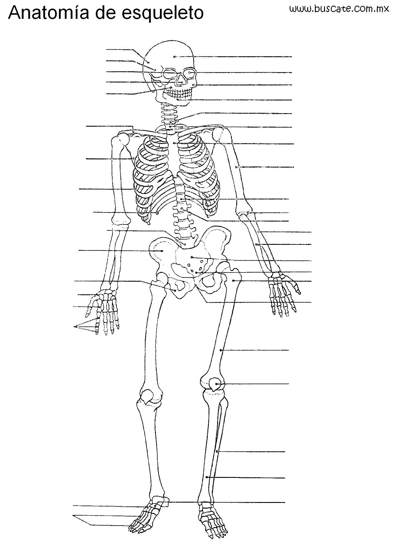 Esqueleto humano sin nombres, para escribirlos. | Ciencias. Cuerpo ...