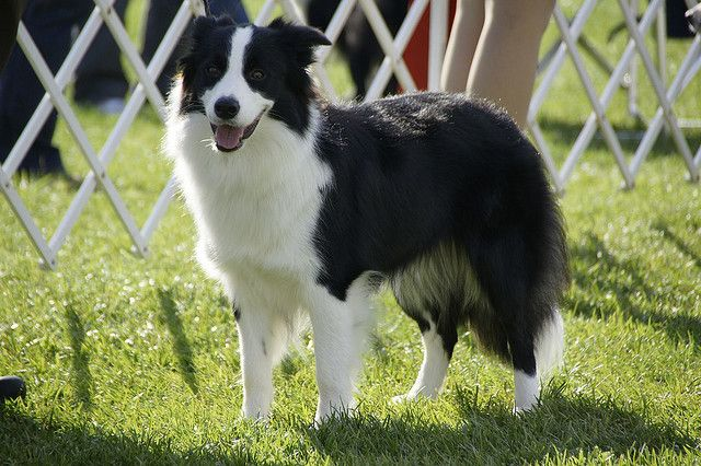 Posing Border Collie Herding Dogs Dogs