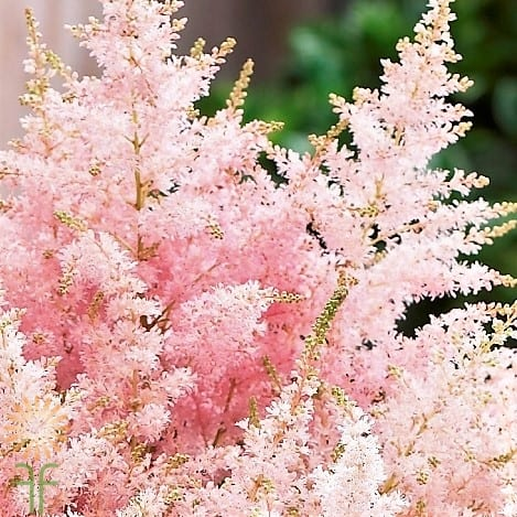 Light Pink Astilbe L Wholesale Flowers Diy Wedding Flowers Online Wedding Flowers Diy Wedding Flowers Wholesale Flowers