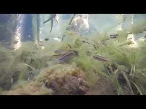 Apistogramma sp. in the habitat