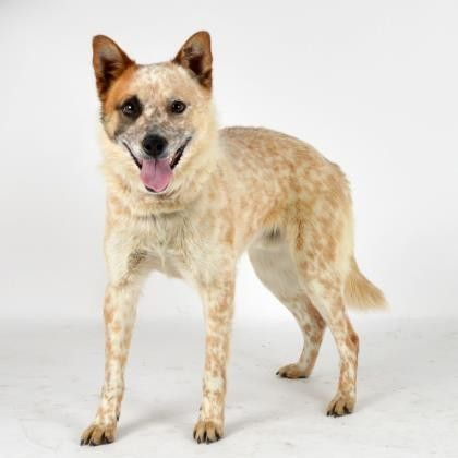 Dogs Australian cattle dog mix, Cattle dogs mix, Adoption