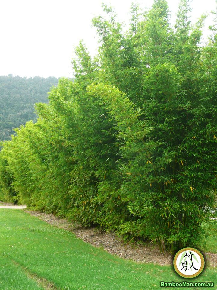 Bamboo Screen Textilis Gracilis Dwarf Max Height 15 18 E 5 Apart Along Fence 3 4 Ft From