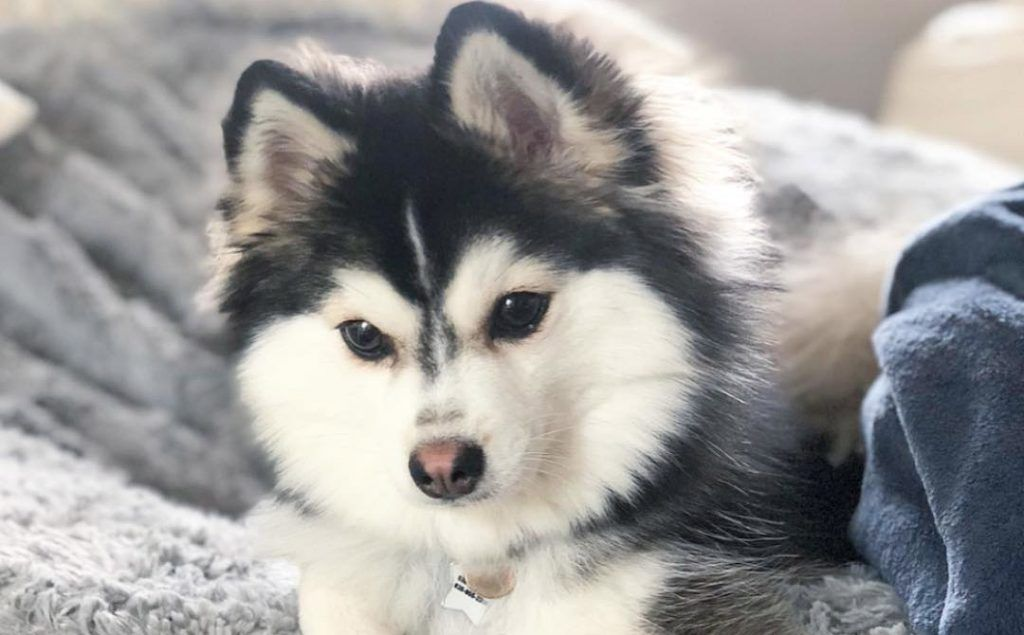 Pomsky 12 Surprising Facts About Pomeranian Husky Mix Pomsky
