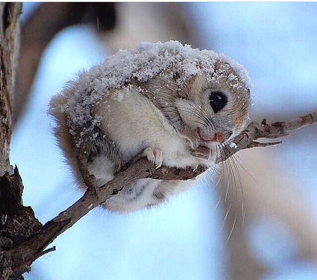 sweetest Japanese flying squirrel :)