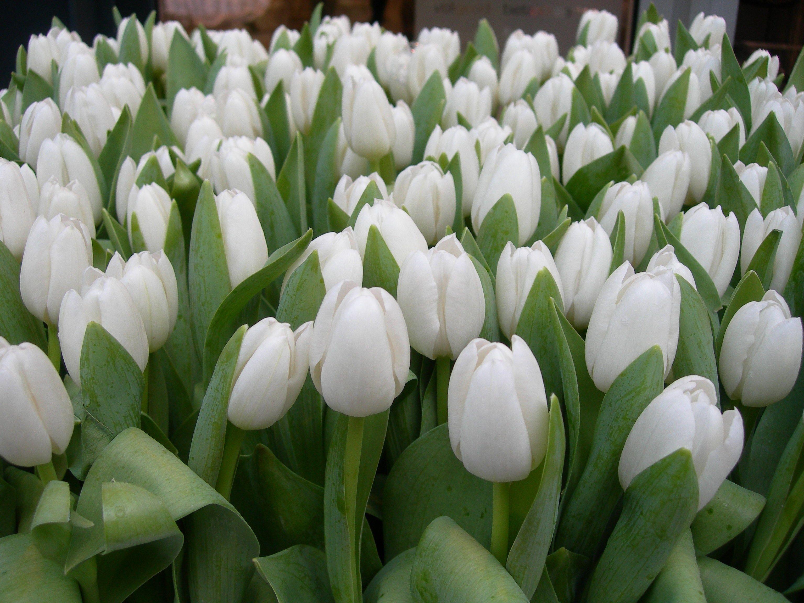 صور ورود بيضاء في غاية الروعة والجمال White Tulips Tulips Flowers Tulips Garden