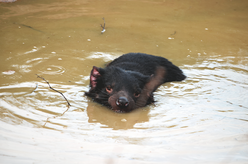 Image result for tasmanian devil swimming