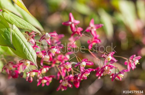 epimedium flourishing in the botanical garden