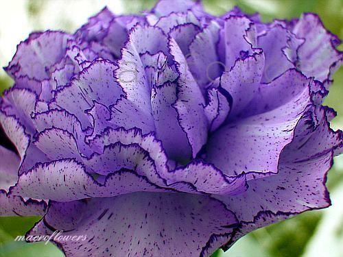 Carnations With Negative Symbolism Photos Purple Carnations Carnations Carnation Colors