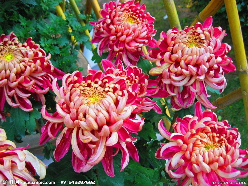 Chrysanthemum Beautiful flowers, Amazing flowers
