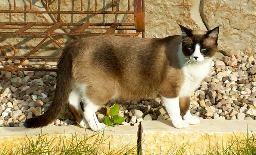 Lilah Mae all grown up! Snowshoe Cats My New Love
